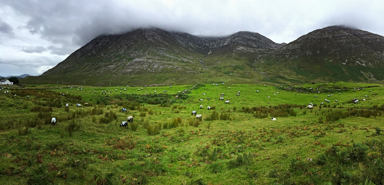 sheep in the Ireland countryside
